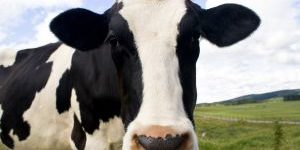 cow-portrait-1238813-m